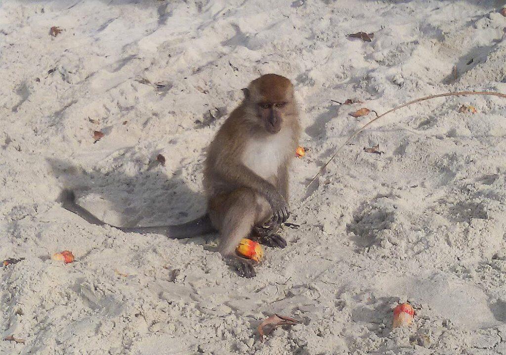 Monkey on Pulau Penang