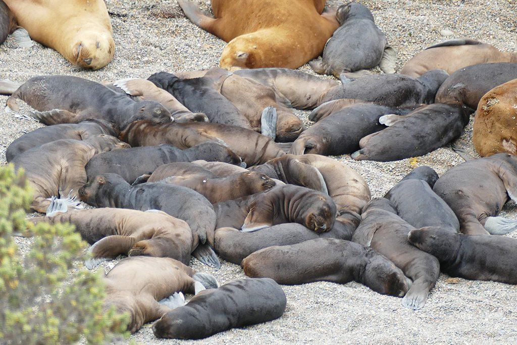 Baby Patagonian sea lion on Peninsula Valdes