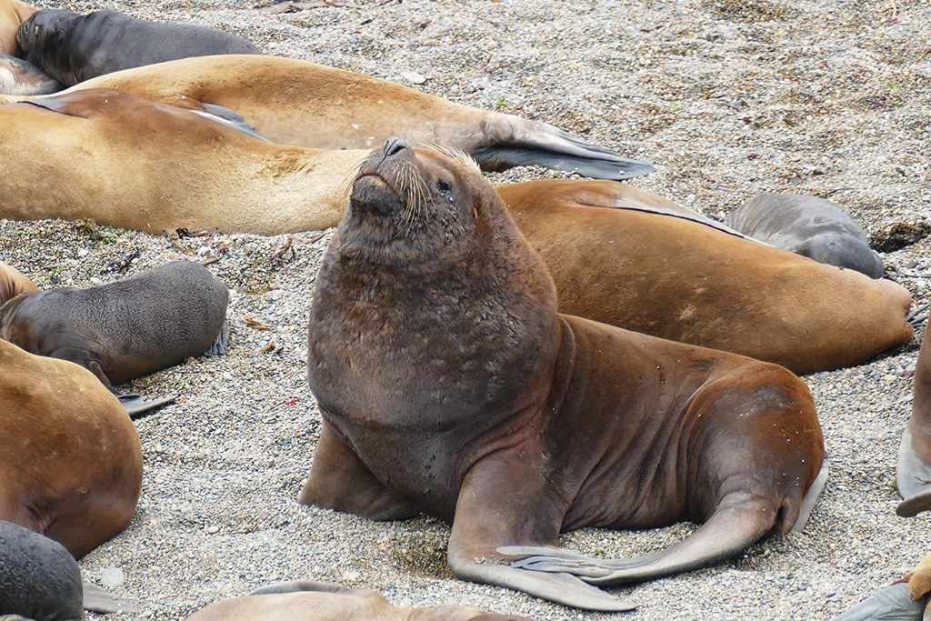 Patagonian sea lion on the Valdes Peninsula close to Puerto Madryn