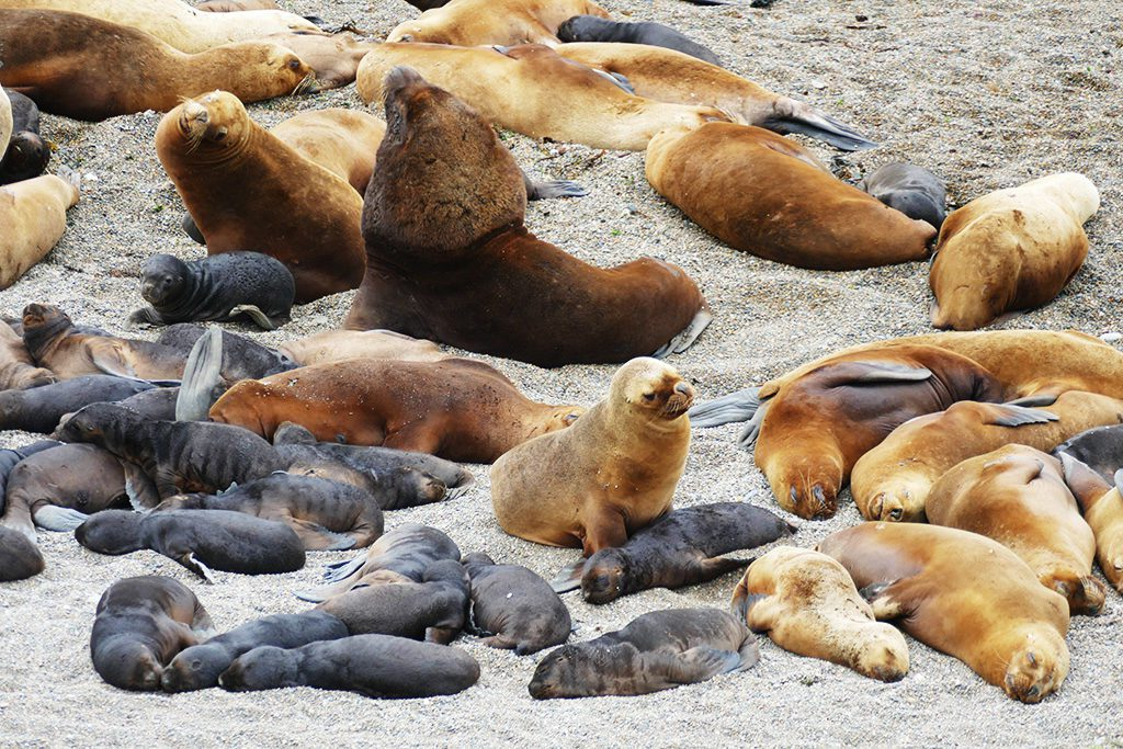 Patagonian sea lion on Peninsula Valdes