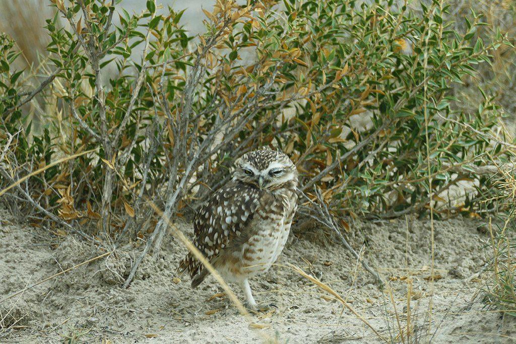 Owl on the Peninsula Valdez off the coast of Puerto Madryn