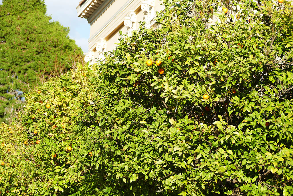 Bitterorange trees around the Zappeion.