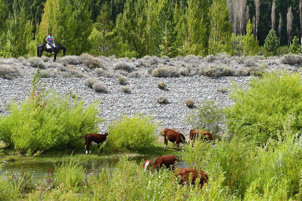 Cows and a Gaucho at Los Antiguos