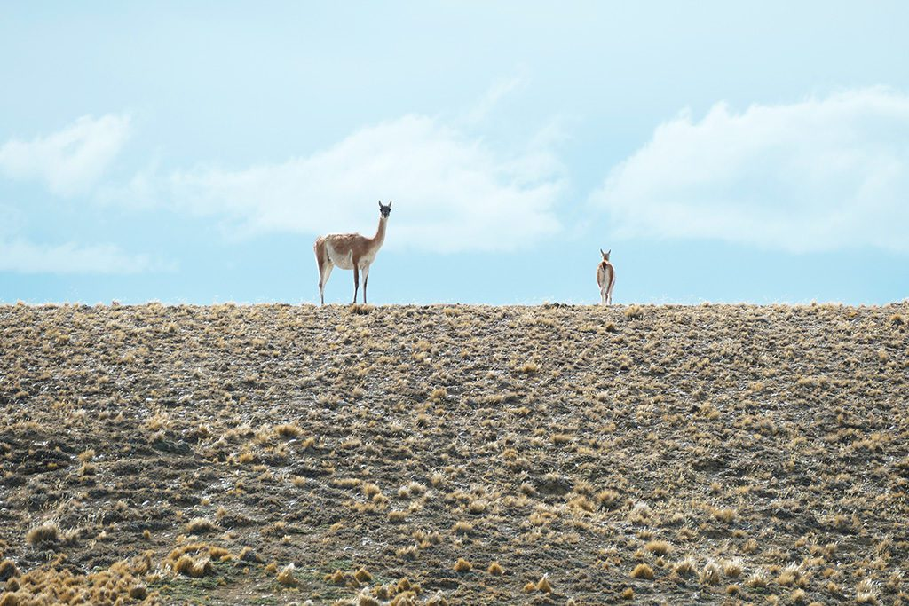 Guanacos at the Pampa of Patagonia between El Calafate and El Chalten