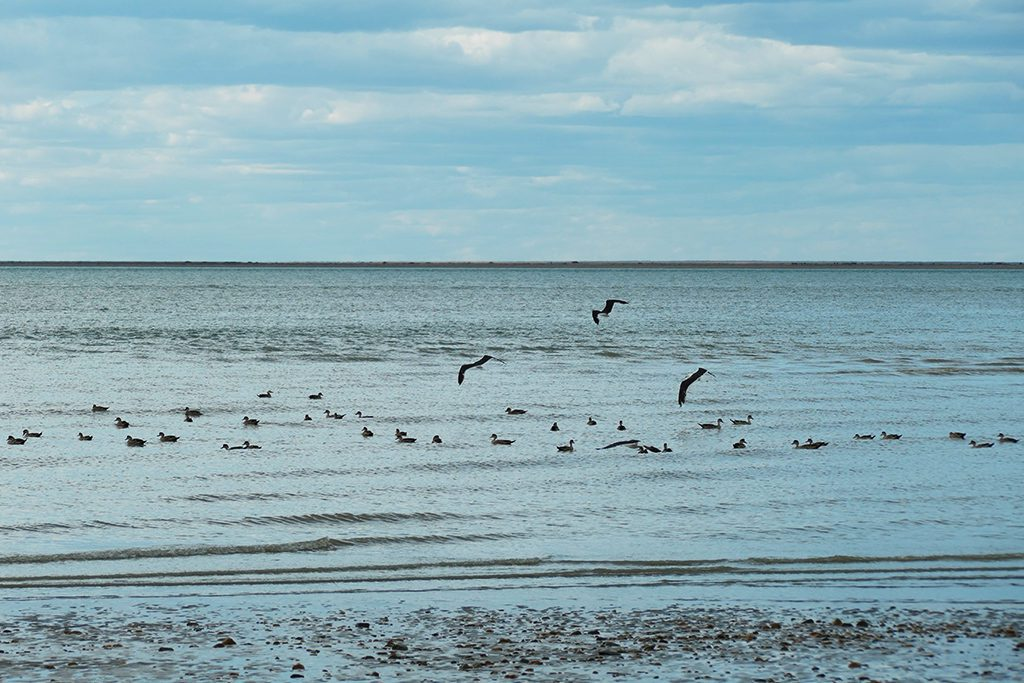 Sea Birds on the Beach at Punta Quilla off Puerto Santa Cruz