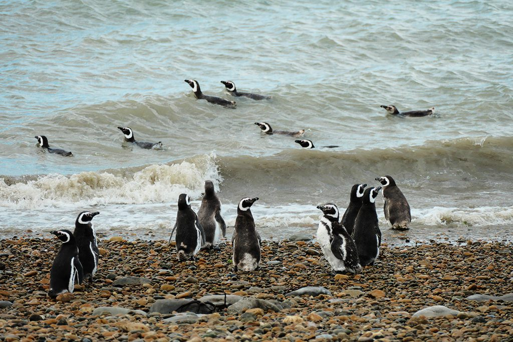 Penguins on the beach of Punta Quilla off Puerto Santa Cruze