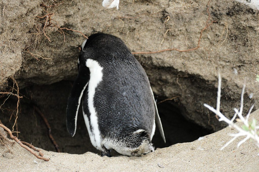 Magellan Penguin on the Beach of Punta Quilla off Puerto Santa Cruz