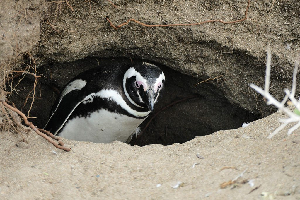 Magellan Penguin in hisnext on the beach of Punta Quilla off Puerto Santa Cruz