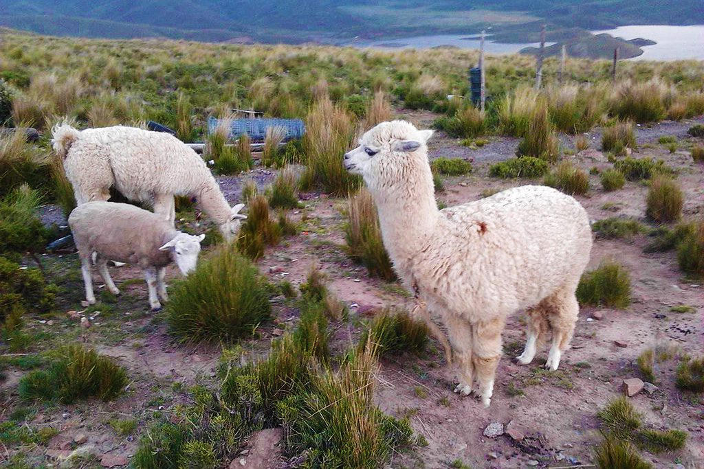 Llamas on the way from Arequipa.