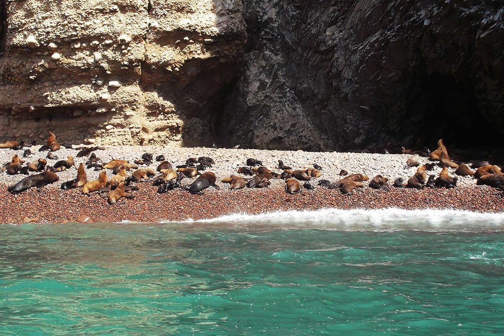 Sea Lions on the Islas Ballestas