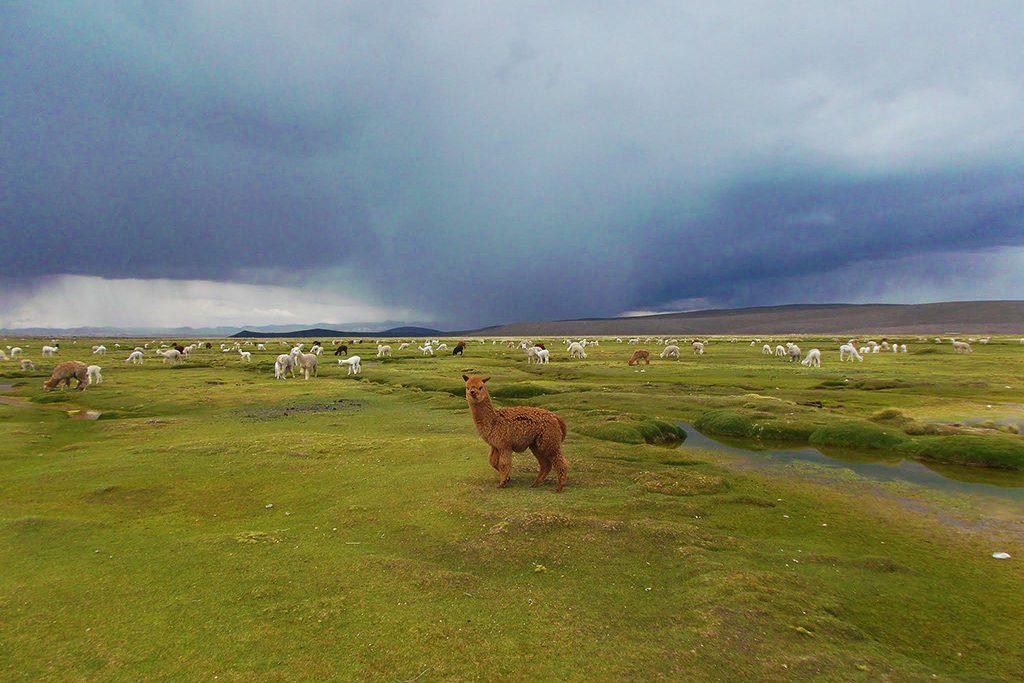 Pampa Cañahuas with herds of Alpacas and Llamas