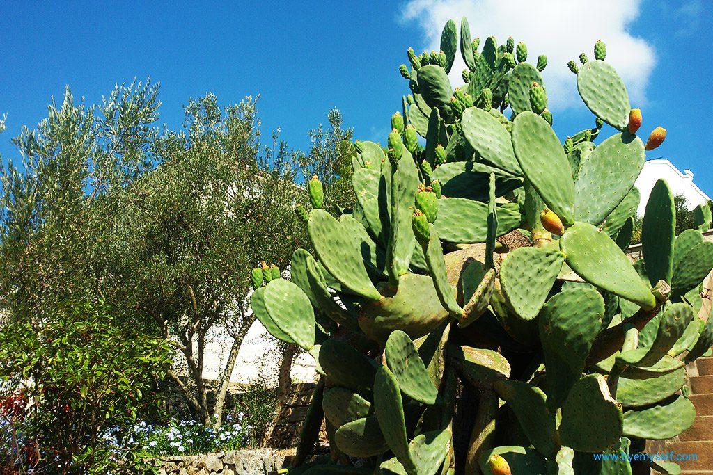 Olives, cactus fruits, lavender - blooming Mediterranean.