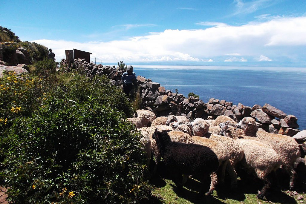 Sheep on Isla Taquile on Lake Titicaca after visiting the Uros Islands on a trip from PUNO