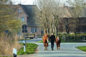 Woman leading two horses in the early morning on Föhr.