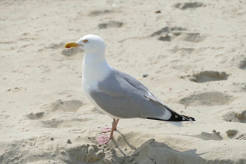 Seagull on Borkum West of East Frisia