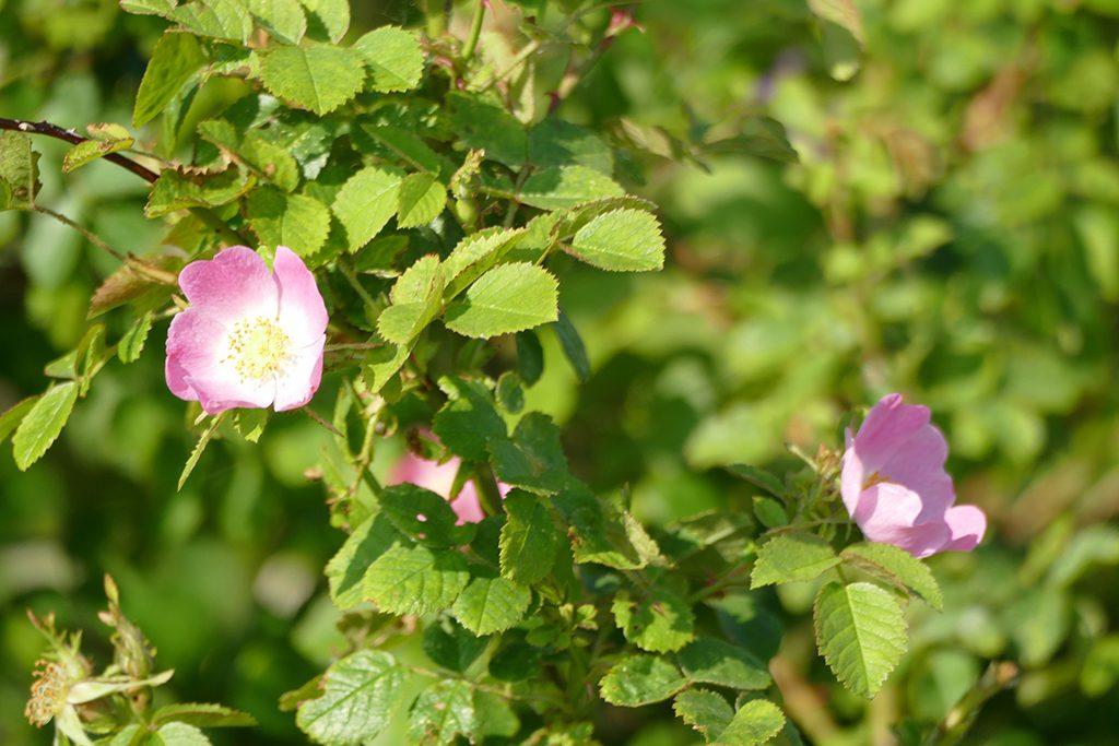 corymb roses