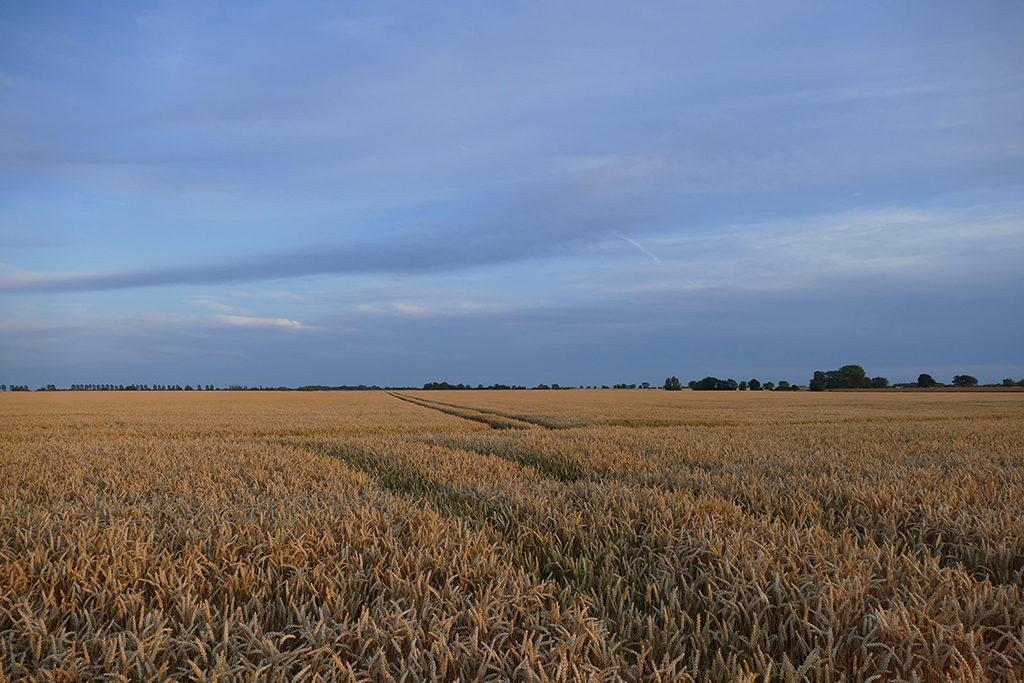 Wheat Field on the Island of Fehmarn
