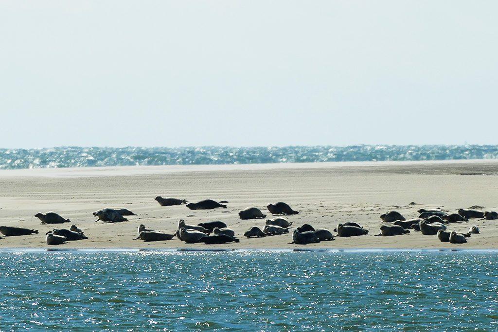 Seals on Borkum in Germany