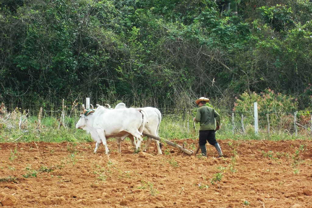 Man and oxen doing fieldwork.