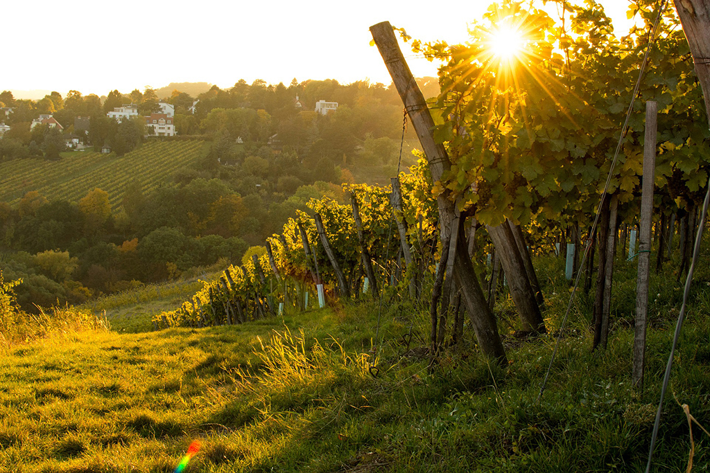 Vines on the outskirt of Vienna