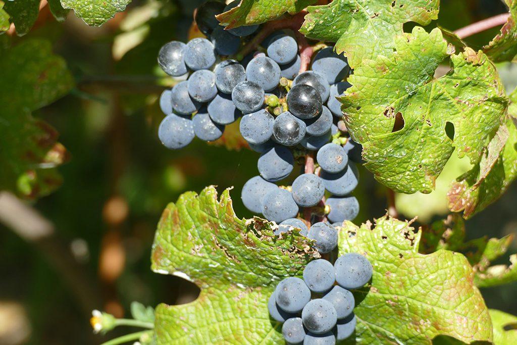 Wine grapes in Manarola