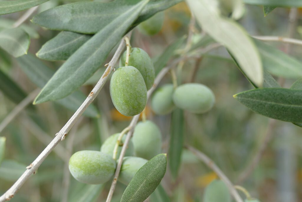 Olives, seen on a day trip to the Villas in Tivoli