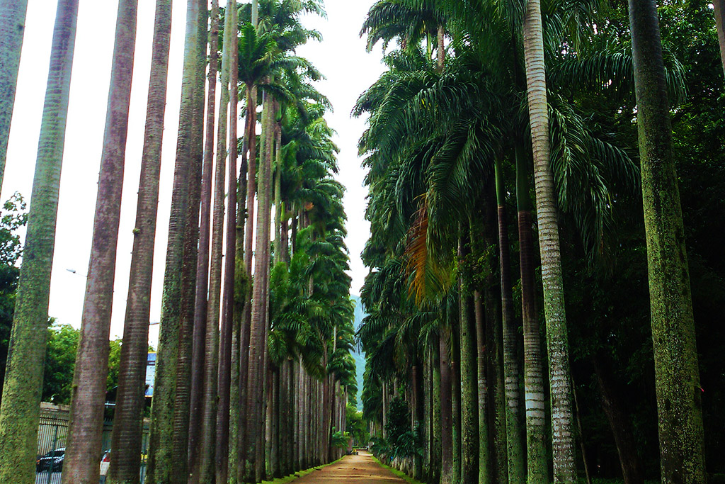 The palm-fringed avenue at the Jardim Botanico in Rio de Janeiro.