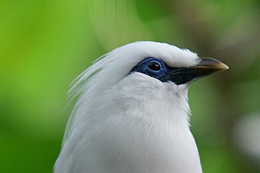 Balistar, a bird endemic to Bali