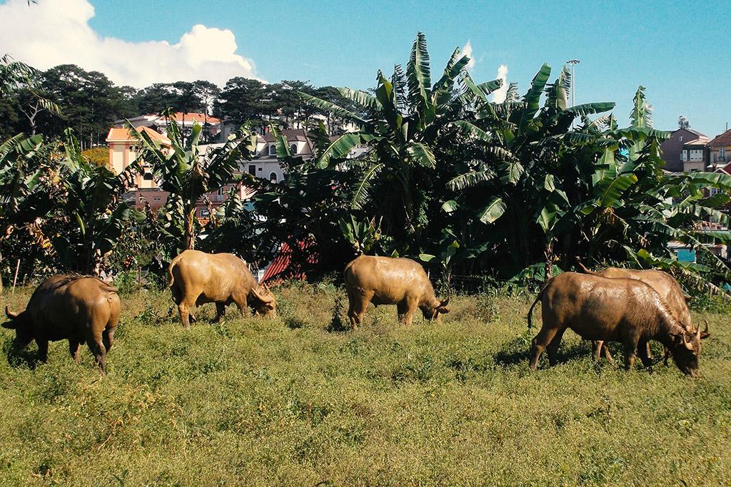 Buffalos in Da Lat
