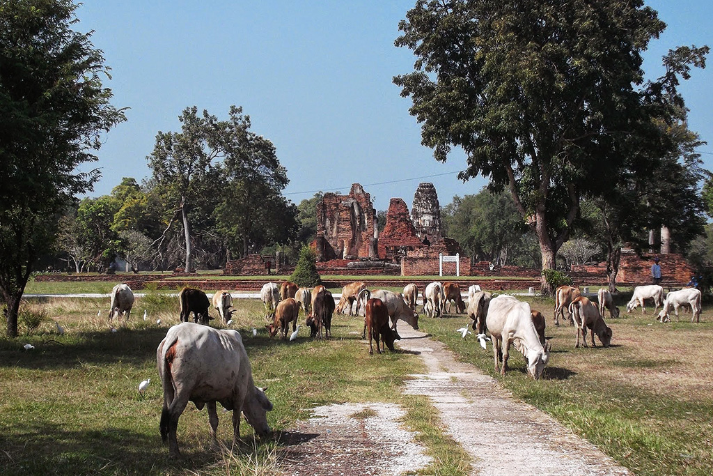 Cows with Wat Phrapai Luang in the backdrop.