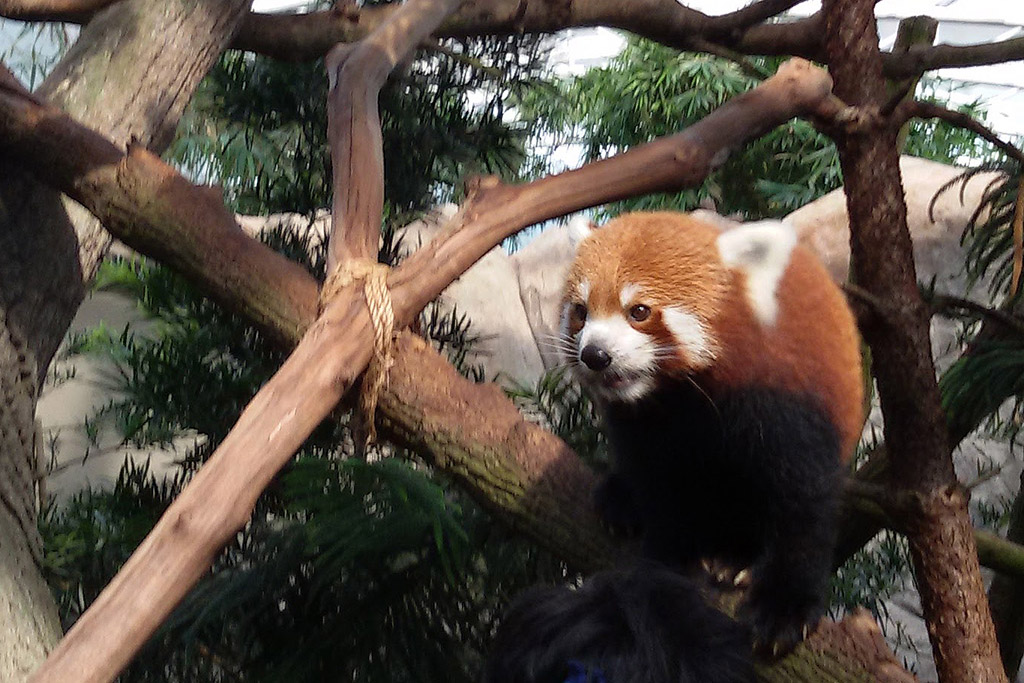 Red Panda at the Singapore Zoo