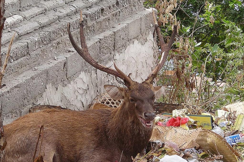 Deer on Menjangan Island