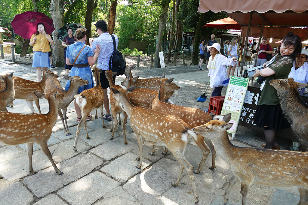 Deer molesting visitors in Nara