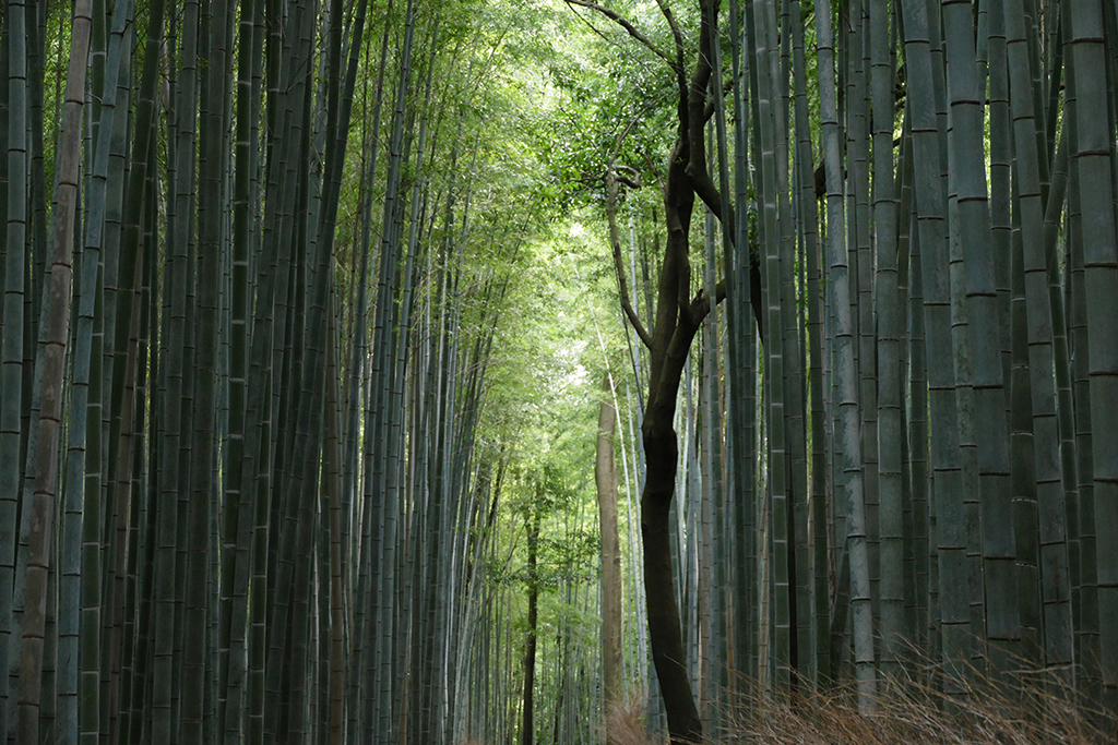 The bamboo forest at Arashiyama,  to be visited on 4 Days Kyoto Treasure Box of Japan