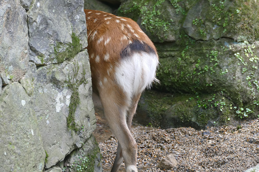 Deer from behind in Nara