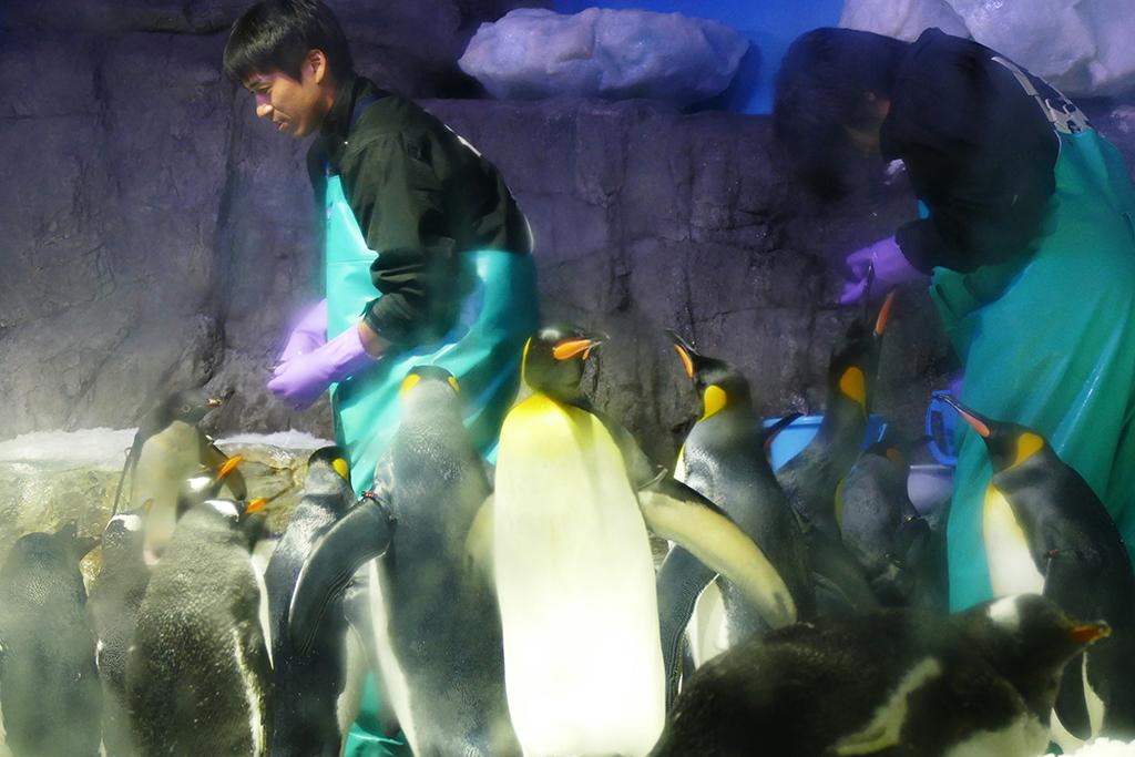 Feeding of penguins at the aquarium in Osaka.