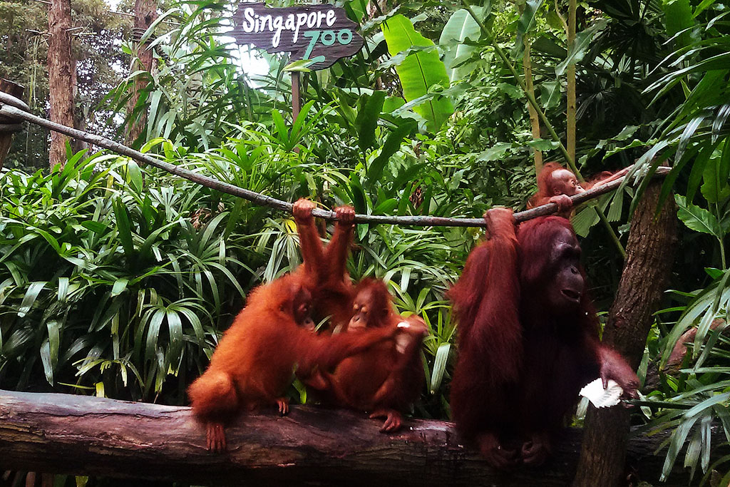 Orang Utan at the Singapore Zoo