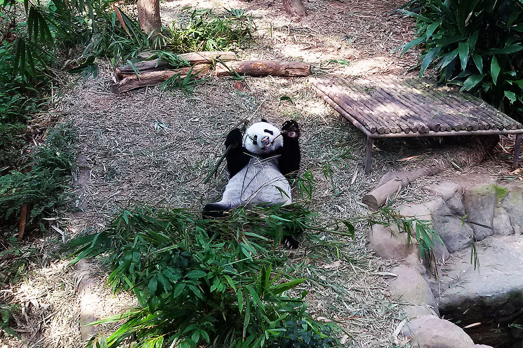 Panda Bear at the Singapore Zoo