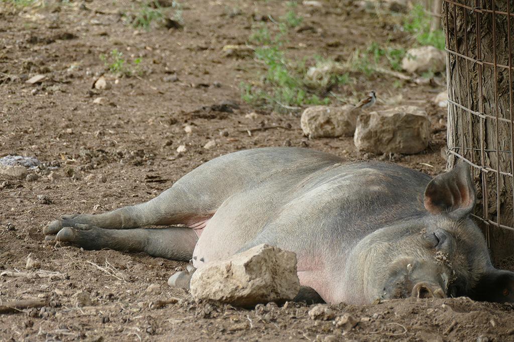 Pig seen while Hiking the Circular Trail Around PUIGPUNYENT
