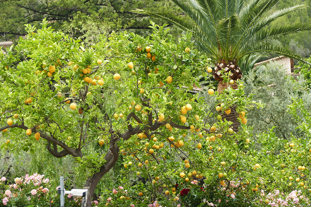 Lemon and palm trees at Deia