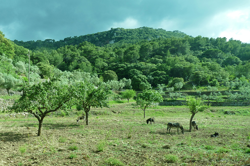 Donkeys in an orchard on the outskirts of Valldemosse
