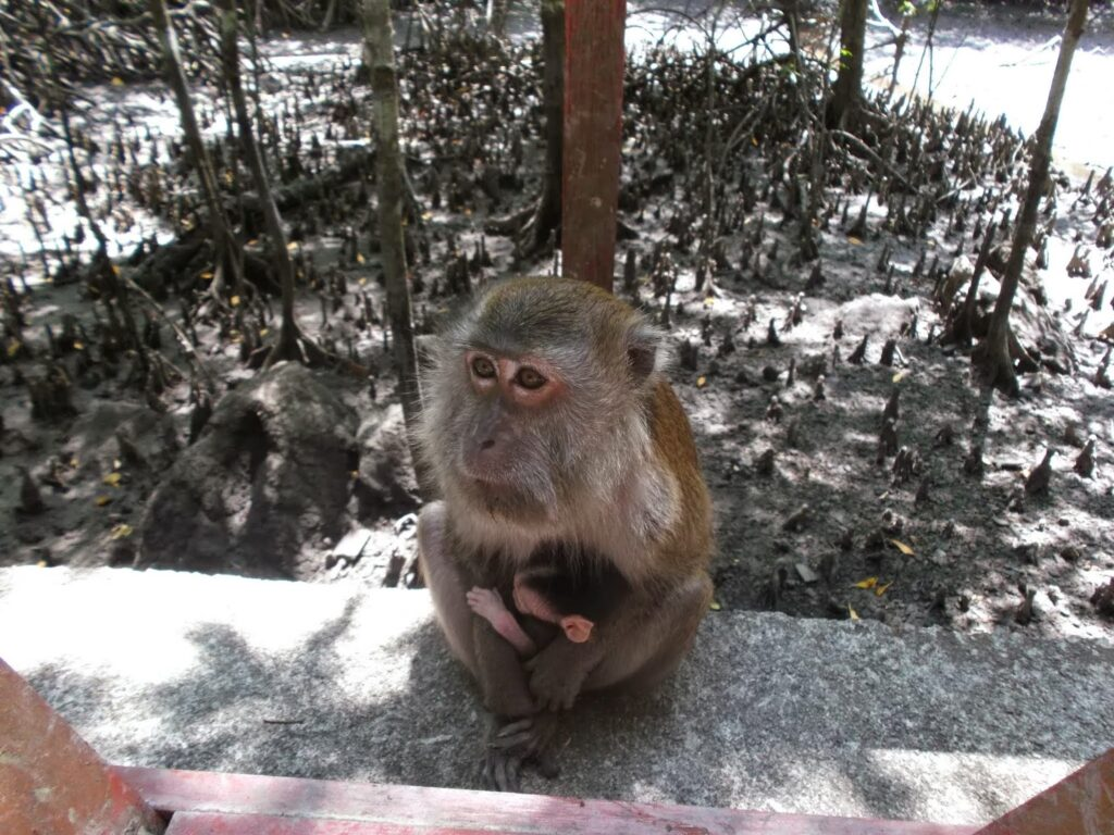 Monkey on Pulau Langkawi