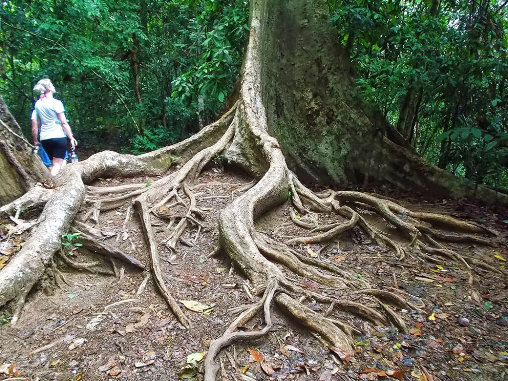 Huge Tree at the Taman Negara