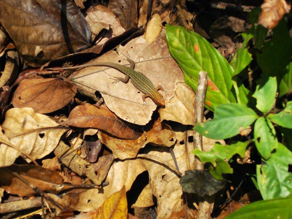 Lizzard between leaves