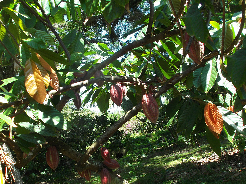 Cocoa fresh from the tree.