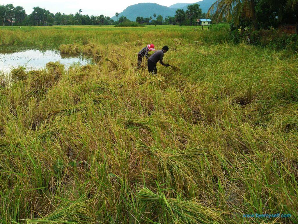 People harvesting rice on Fish Isle at Kampot