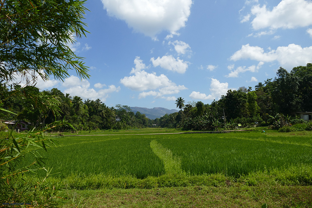 Rice Paddies at Embekke - Sri Lanka - Asia