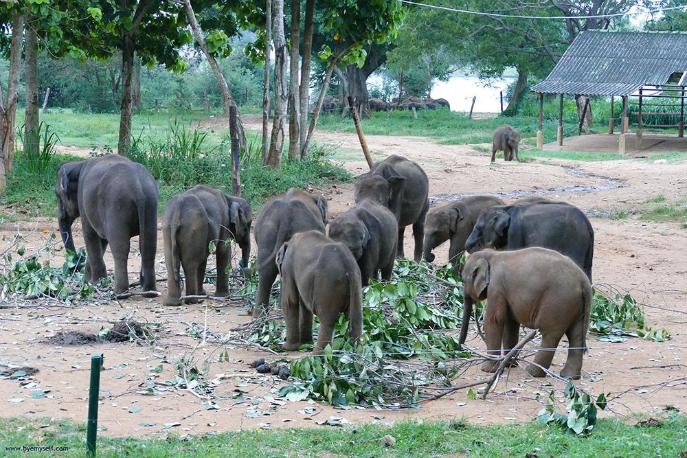 Baby elephants eating leaves