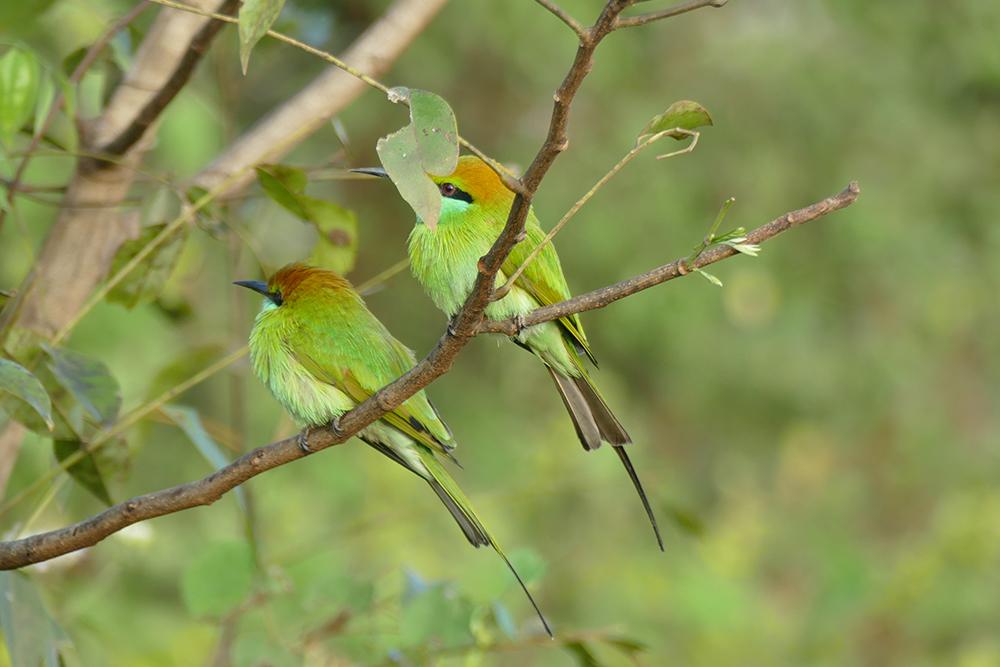 Bee-eaters in Uduwalawe