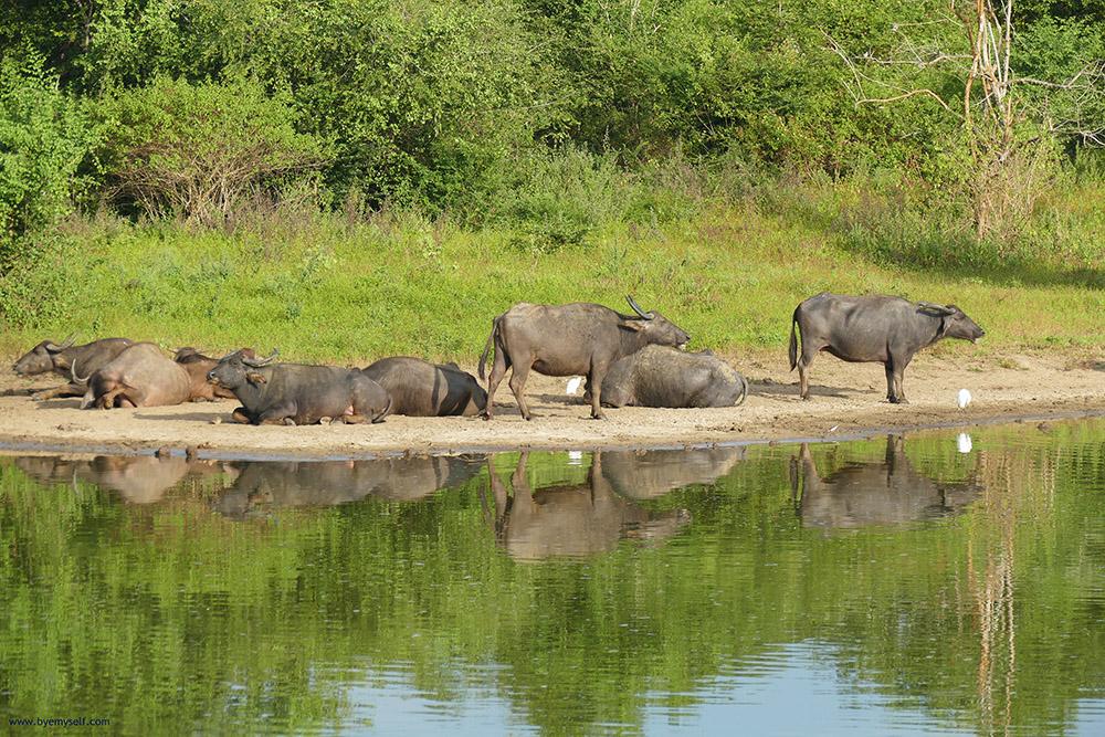Buffaloes in Uduwalawe